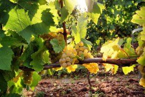 Chardonnay in der Sonne